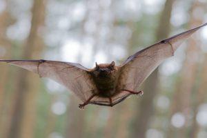 sarasota bat