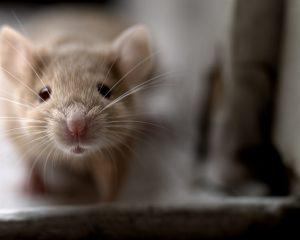sarasota rodent