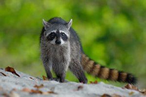 sarasota raccoon