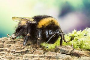 Sarasota Bees