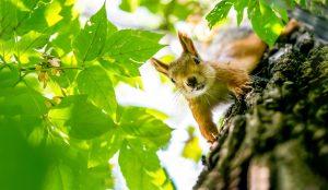 Sarasota Squirrel