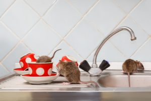 when to call a rodent exterminator